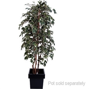 Ficus Exotica Variagated 5ft